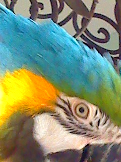 Suki, my beautiful blue and gold macaw