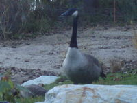 Canadian Geese in my yard