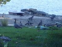 Geese on my beach
