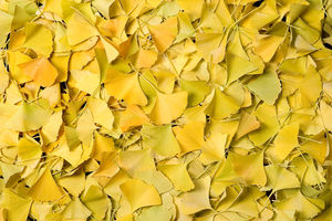 Yellow_gingko