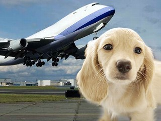 Dog_airplane_080812_mn